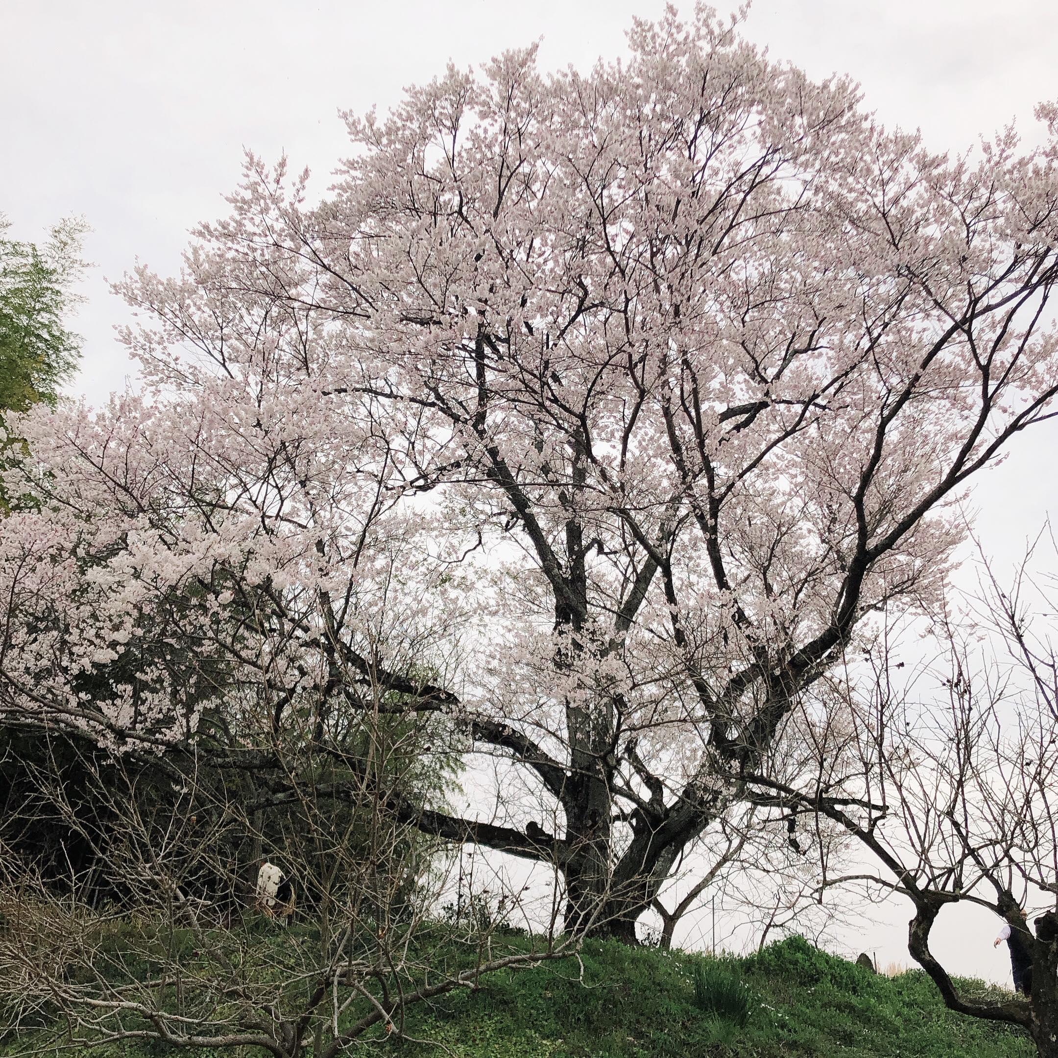 いのちの桜(岐阜県本巣市淡墨桜2世)