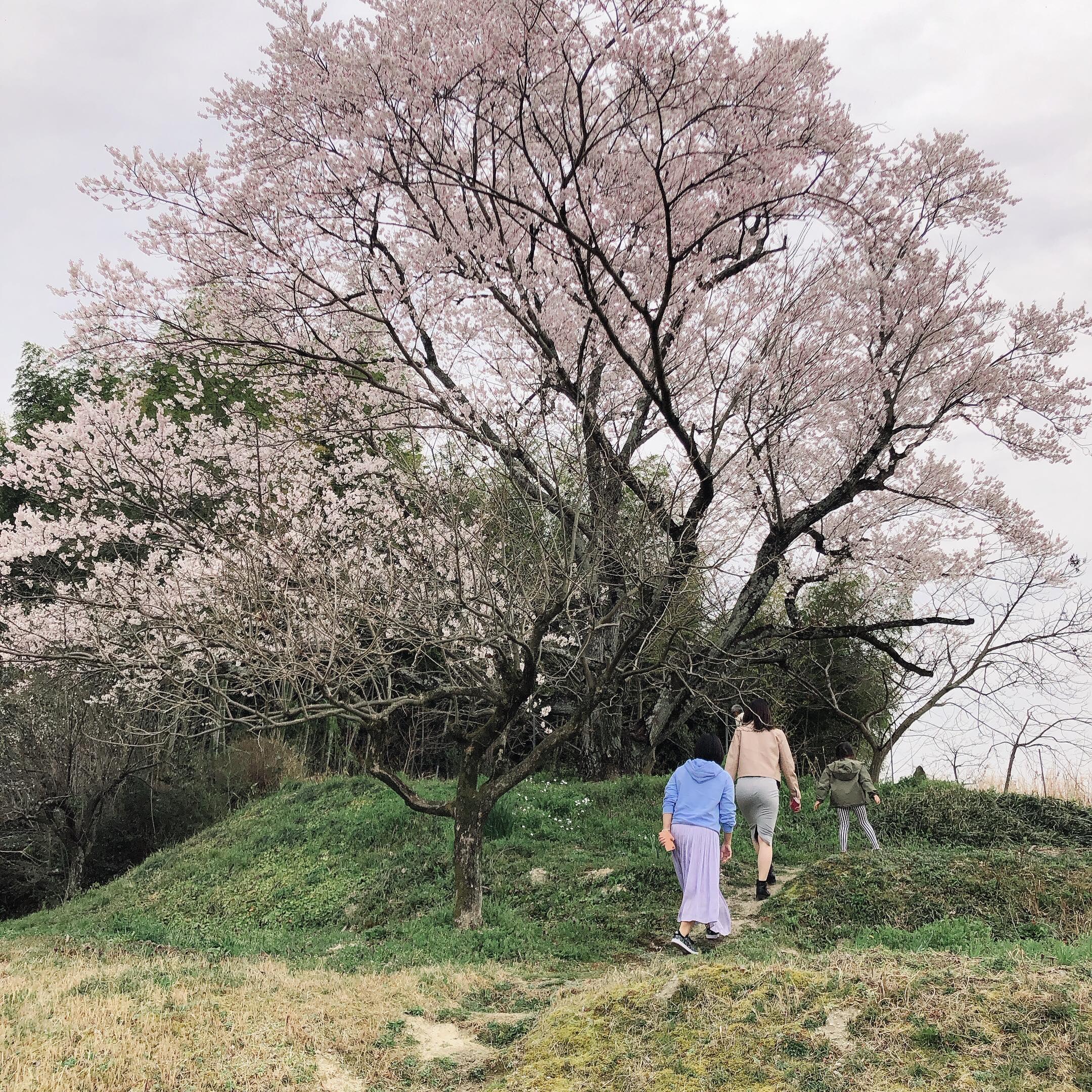 長久手市にある薄墨桜